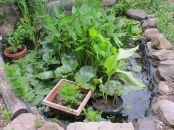 edible water garden