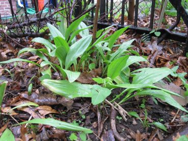 ramps and hog peanut under pawpaw 3
