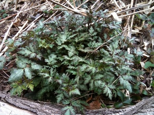 Phacelia, a beneficial insect-attracting native wildflower for shade, is up and has lovely foliage.