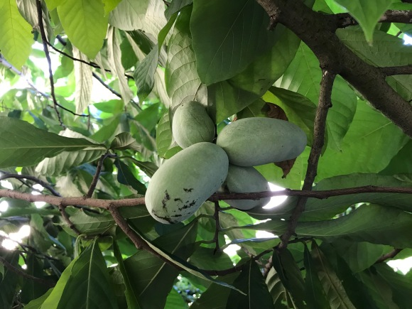 Ripening pawpaws